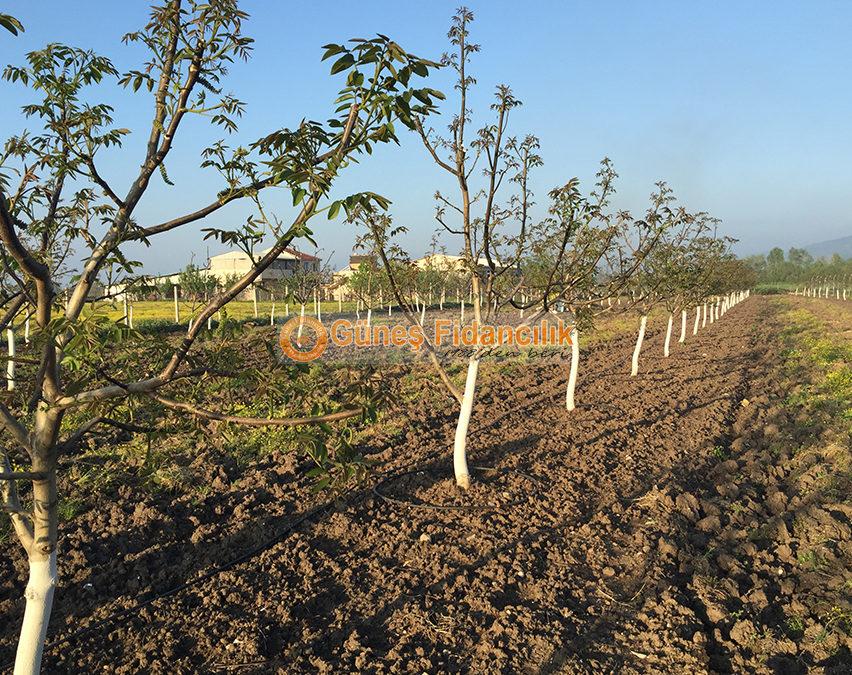 How to Plant a Walnut Tree? | Gunes Nursery Turkey