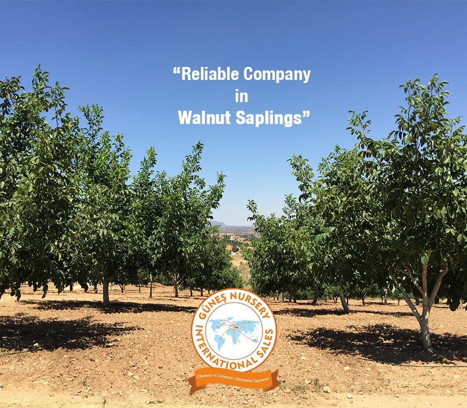 Reliable Company in Walnut Saplings