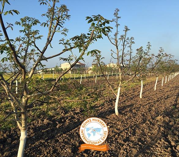 walnut-garden